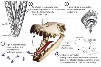 Schulp-2005-Did mosasaurs have forked tongues-3-7