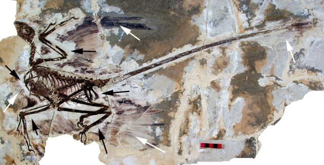microraptor_gui-fossil