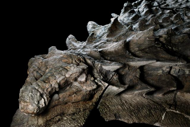 nodosaur-fossil-canadian-mine-face.adapt.1900.1